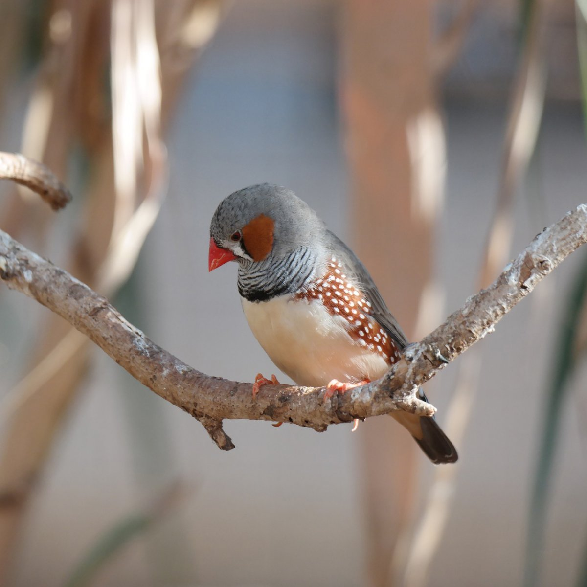 zebra finch sits on branch